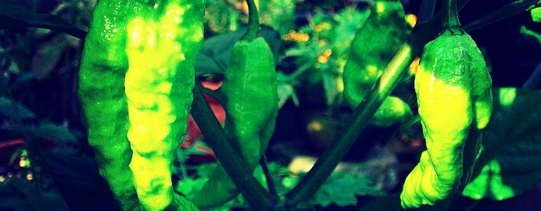 bhut jolokia ghost pepper scoville units