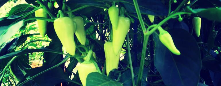 santa fe grande pepper shu