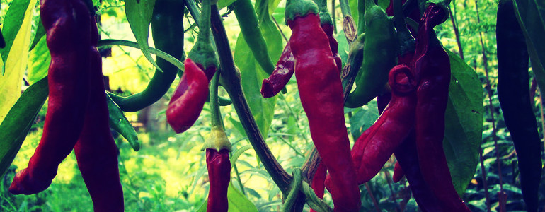 thai pepper scoville