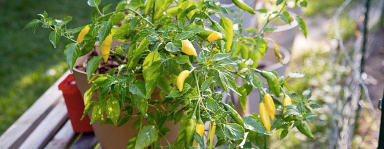 lemon drop pepper scoville units