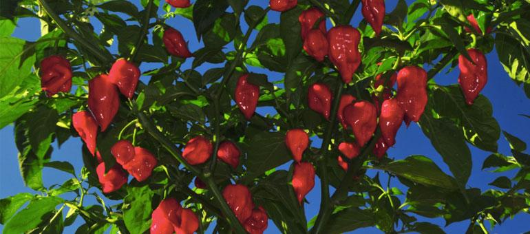 Caribbean Red Habanero
