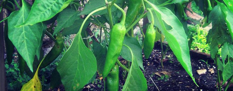 anaheim pepper shu