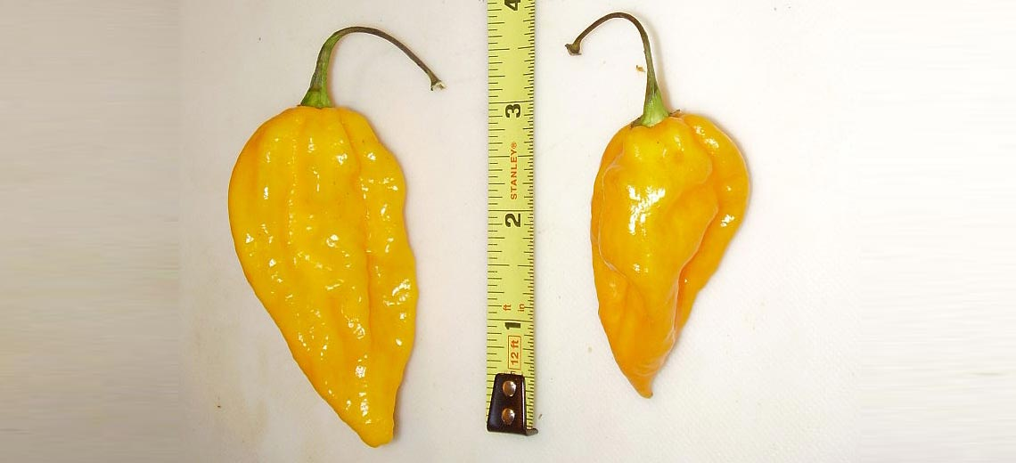 Fatalii Pepper Scoville Units